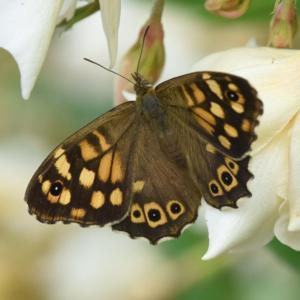 #Pollination  with Speckled Wood Butterfly
