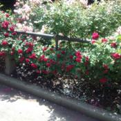 Location: Brooklyn Botanical Garden (Cranford Rose Garden), New York, New YorkDate: 2017-06-18