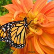 Location: central IllinoisDate: 10-11-11#pollination