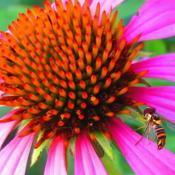 Location: central IllinoisDate: 7-14-14#pollination
