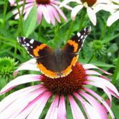 Location: central IllinoisDate: 7-27-15#pollination   Red Admiral