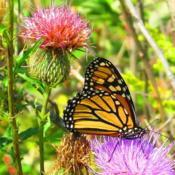 Location: central IllinoisDate: 9-20-11#pollination