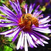 Location: central IllinoisDate: 10-1-11#pollination
