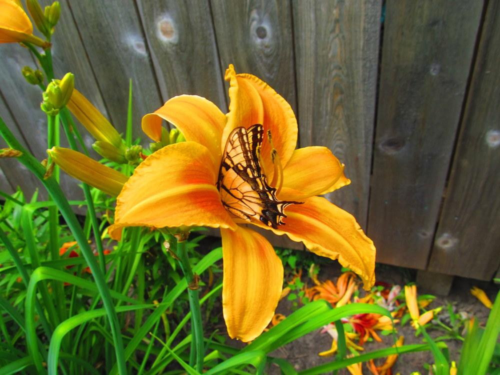 Photo of Daylilies (Hemerocallis) uploaded by jmorth