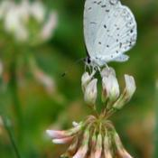 Location: ILDate: 2012-07-09#Pollination Summer Azure (Celastrina neglecta) Butterfly