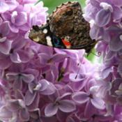 Location: ILDate: 2012-04-17#Pollination Red Admiral Butterfly