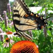 Location: ILDate: 2009-07-24#Pollination Tiger Swallowtail Butterfly