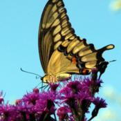 Location: ILDate: 2012-09-12#Pollination Giant Swallowtail (Heraclides cresphontes) Butterfly