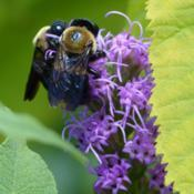 Location: ILDate: 2016-07-16#Pollination Two Eastern Carpenter Bees (Xylocopa virginica)