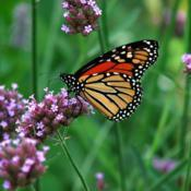 Location: ILDate: 2008-09-01#Pollination Monarch Butterfly (Danaus plexippus), Verbena-on-a-S