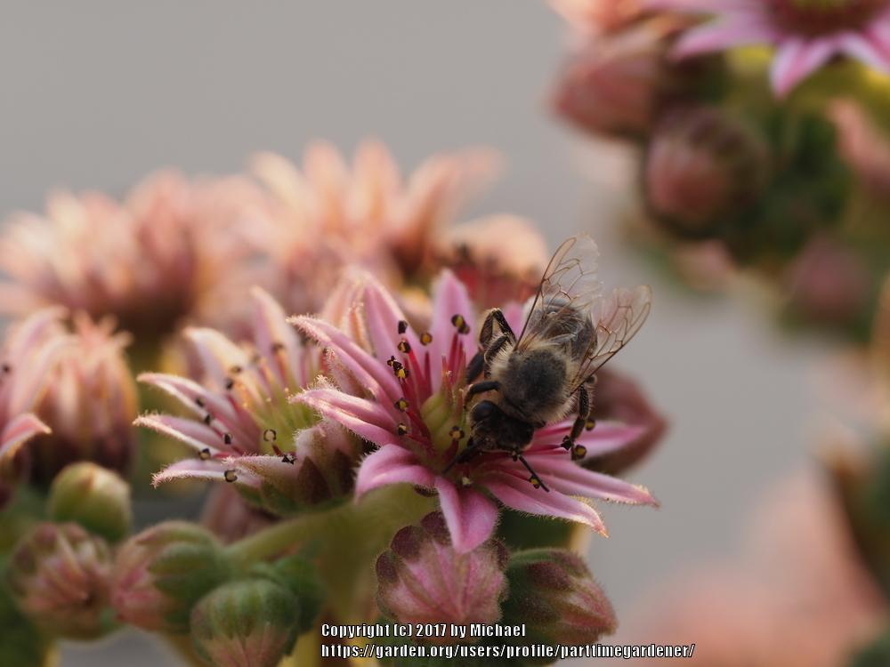 Photo of Sempervivum uploaded by parttimegardener
