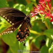 Location: Daytona Beach, FloridaDate: 2013-08-28#Pollination - Spicebush Swallowtail