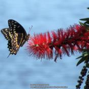 Location: Daytona Beach, FloridaDate: 2013-03-16#Pollination - Swallowtail Butterfly visiting a bloom