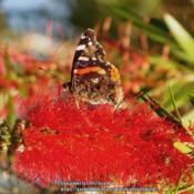 Location: Daytona Beach, FloridaDate: 2014-03-02#Pollination - Red Admiral Butterfly visiting a bloom