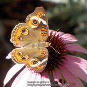 Location: Daytona Beach, FloridaDate: 2010-06-23#Pollination - Common Buckeye Butterfly