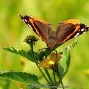 Location: Daytona Beach, FloridaDate: 2013-08-06#Pollination - Red Admiral Butterfly