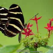 Location: Daytona Beach, FloridaDate: 2013-08-05#Pollination - Zebra Longwing