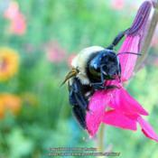 Location: My garden in Northern KYDate: 7-21-2015Busy bee #Pollination