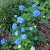 Location: My garden, Pequea, Pennsylvania 17565Date: 2017-06-22Good year for hydrangeas after several years recovering from two