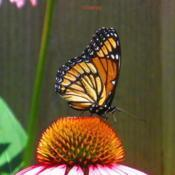 Location: central IllinoisDate: 2014-07-04#pollination   Viceroy