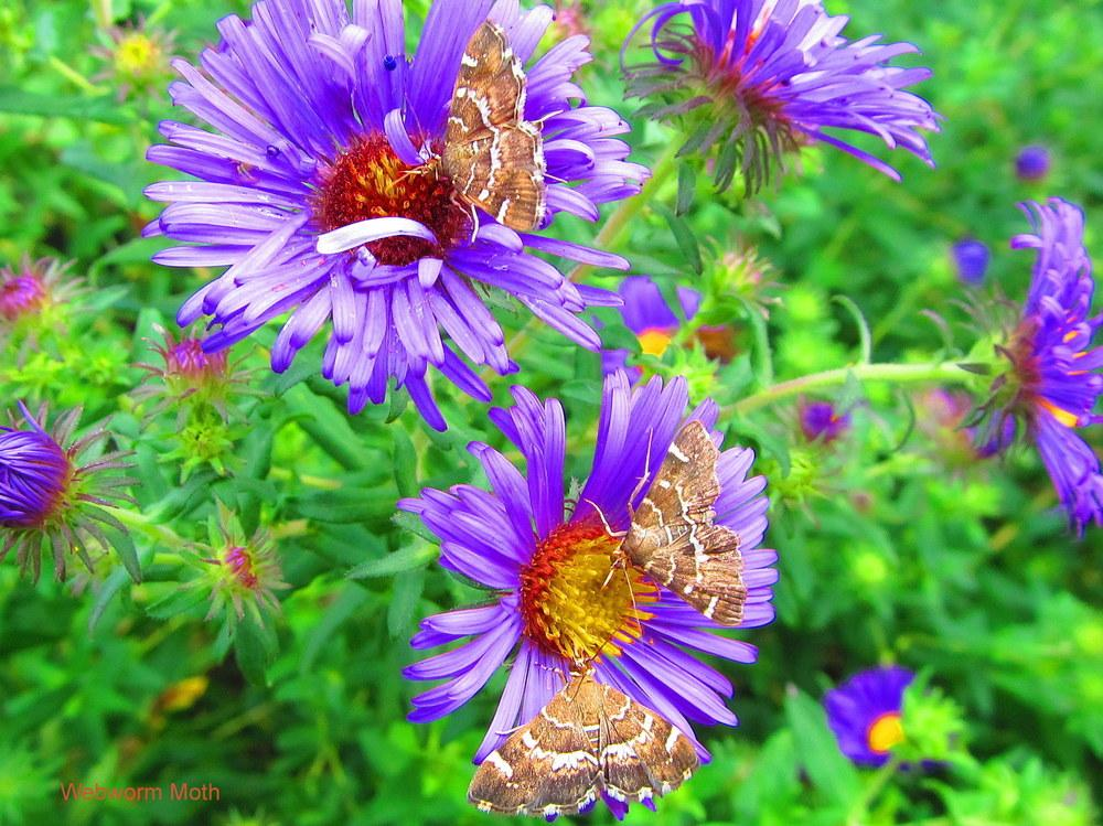 Photo of Asters (Aster) uploaded by jmorth