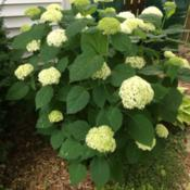 Location: My zone 5 gardenDate: 2017-06-22This is my favorite hydrangea.