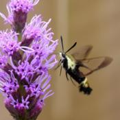 Location: ILDate: 2014-07-19#Pollination Snowberry Clearwing Moth (Hemaris diffinis) on Liatr