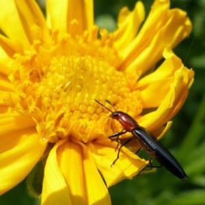 #Pollination Slender Lizard Beetle (Acropteroxys gracilis)