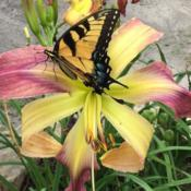 Location: My garden in Warrenville, SCDate: 2017-06-21Eastern Tiger  Swallowtail butterfly on daylily seedlin