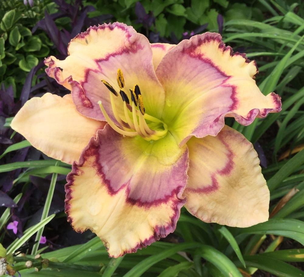 Photo of Daylily (Hemerocallis 'Stenciled Infusion') uploaded by scflowers