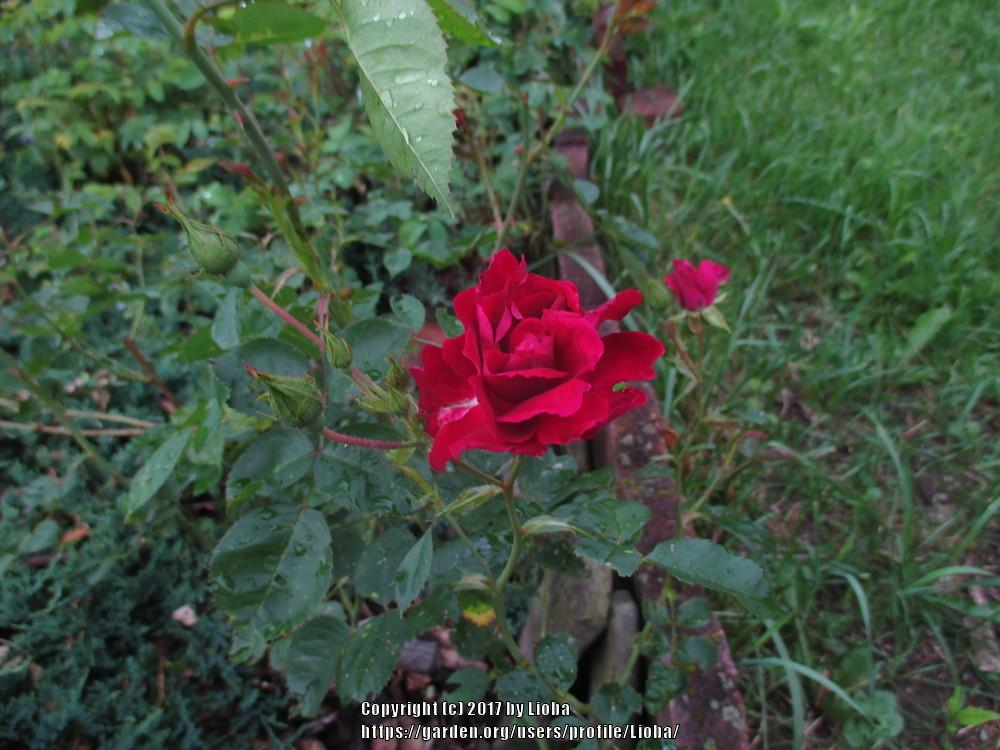 plant id forum what is the name of this small magenta rose. Black Bedroom Furniture Sets. Home Design Ideas