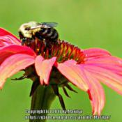 Location: My garden in Northern KYDate: 2010-06-24#Pollination