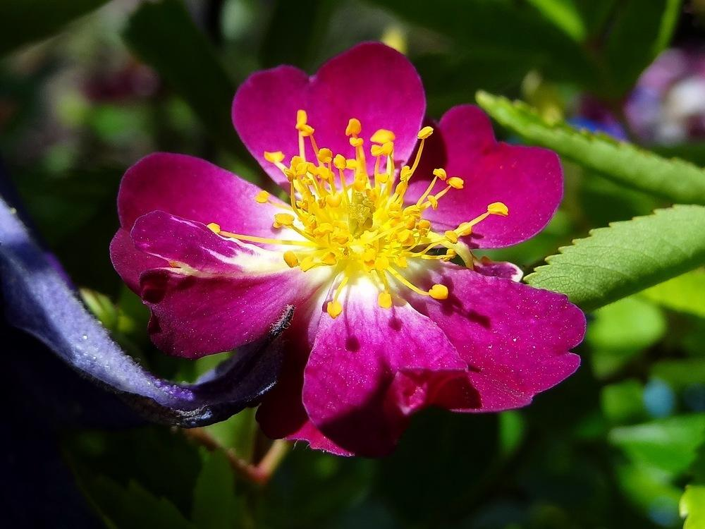 Photo of Rose (Rosa 'Veilchenblau') uploaded by Orsola