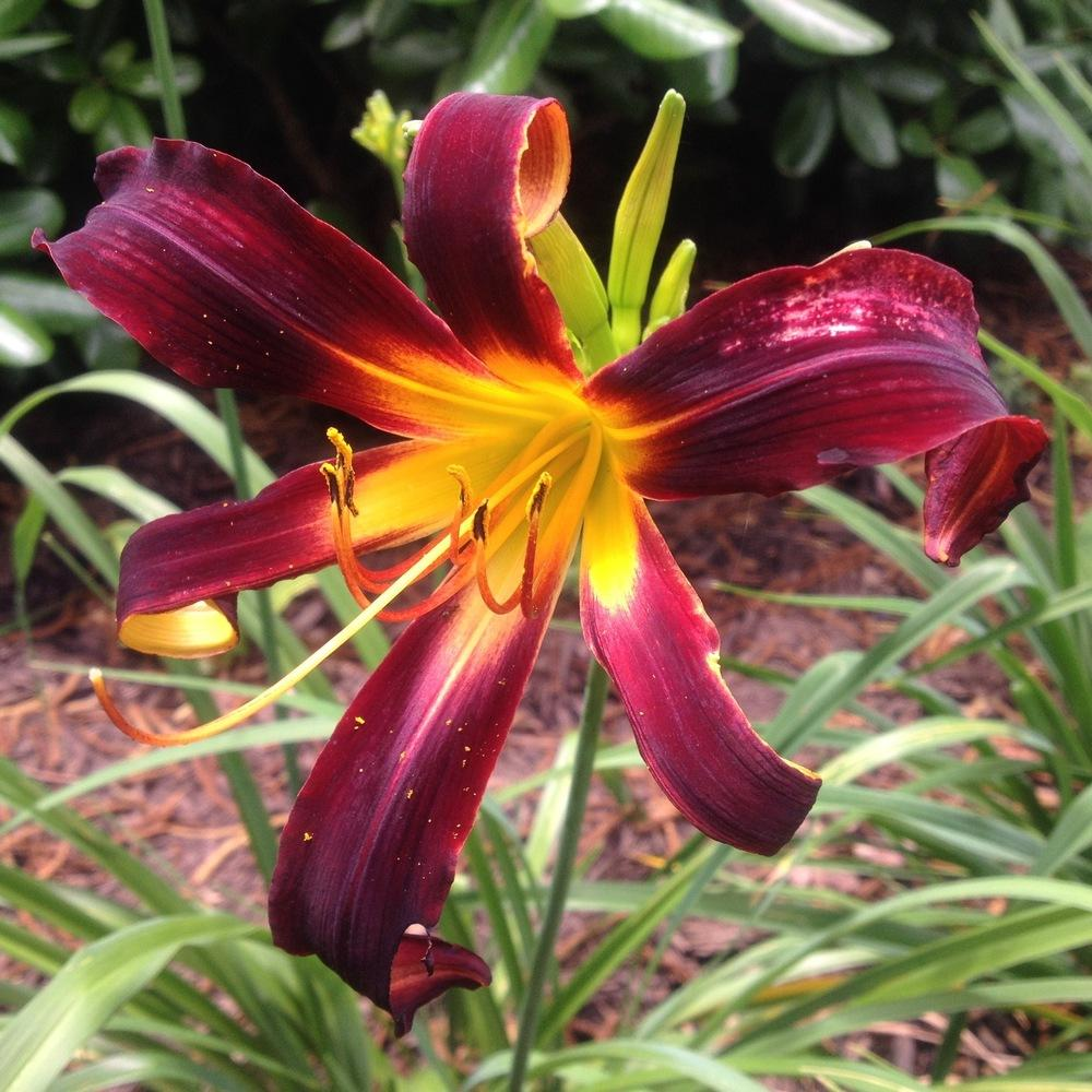 Photo of Daylily (Hemerocallis 'Black Plush') uploaded by csandt