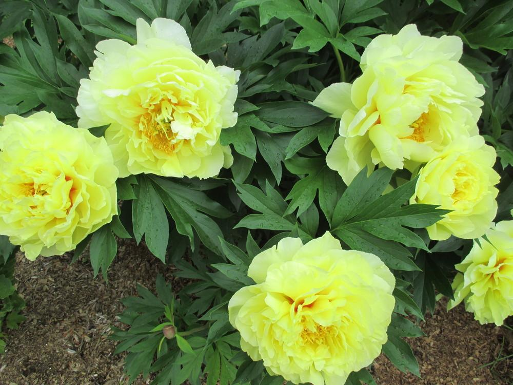 Photo of Intersectional Peony (Paeonia 'Bartzella') uploaded by danielovilamatton