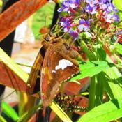 Location: central IllinoisDate: 2016-09-13#pollination   Silver Spotted Skipper