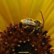 Location: central IllinoisDate: 2012-08-13#pollination   Long Horned Bee