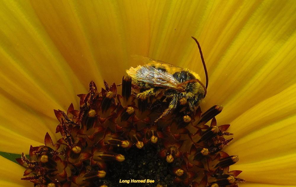 Photo of Sunflower (Helianthus annuus 'Kong') uploaded by jmorth