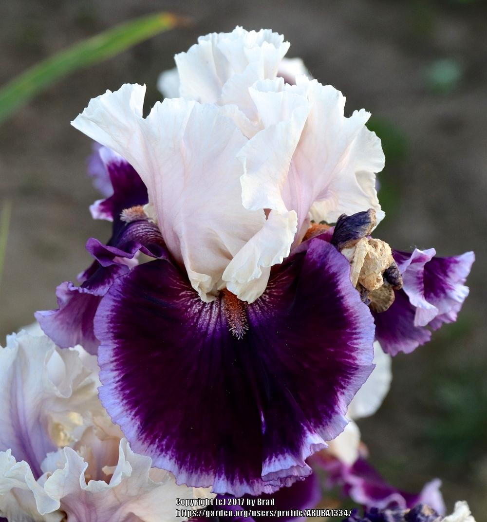 Photo Of The Bloom Of Tall Bearded Iris Iris Deeper Meaning