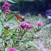 Location: My garden in Northern KYDate: 2006-06-26#Pollination