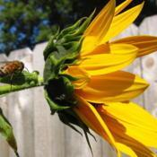 Location: central IllinoisDate: 2013-08-28#pollination