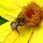 Location: central IllinoisDate: 2014-10-11#pollination