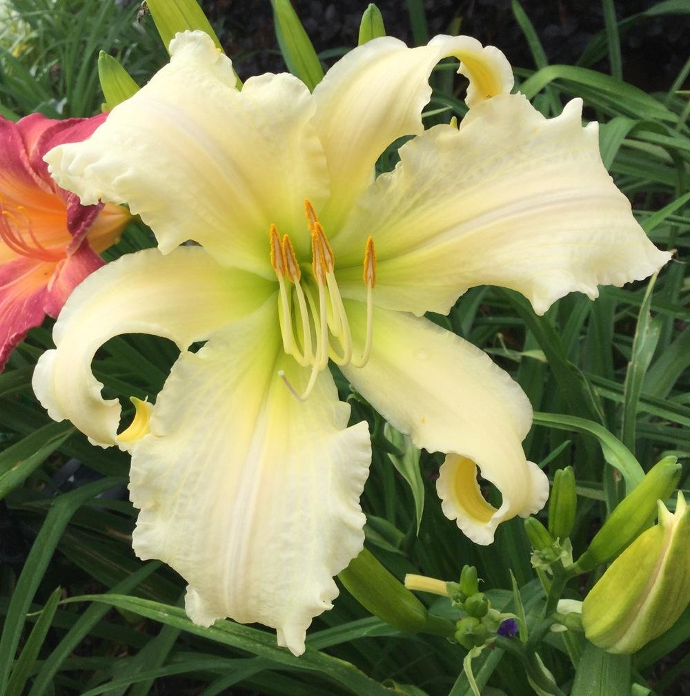 Photo of Daylily (Hemerocallis 'Heavenly Angel Ice') uploaded by scflowers