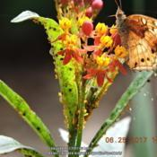 Location: Enterprise, Al. 36330Date: 2017-06-25#Pollination   Normal state of my Tropical Milkweed...a