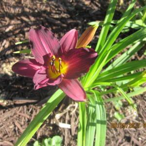 FFE on 2017 addition from O'Bannon Springs Daylilies.
