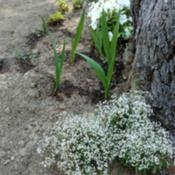Location: My gardenDate: 2017-06-18A subtle addition to the White Flower Border.