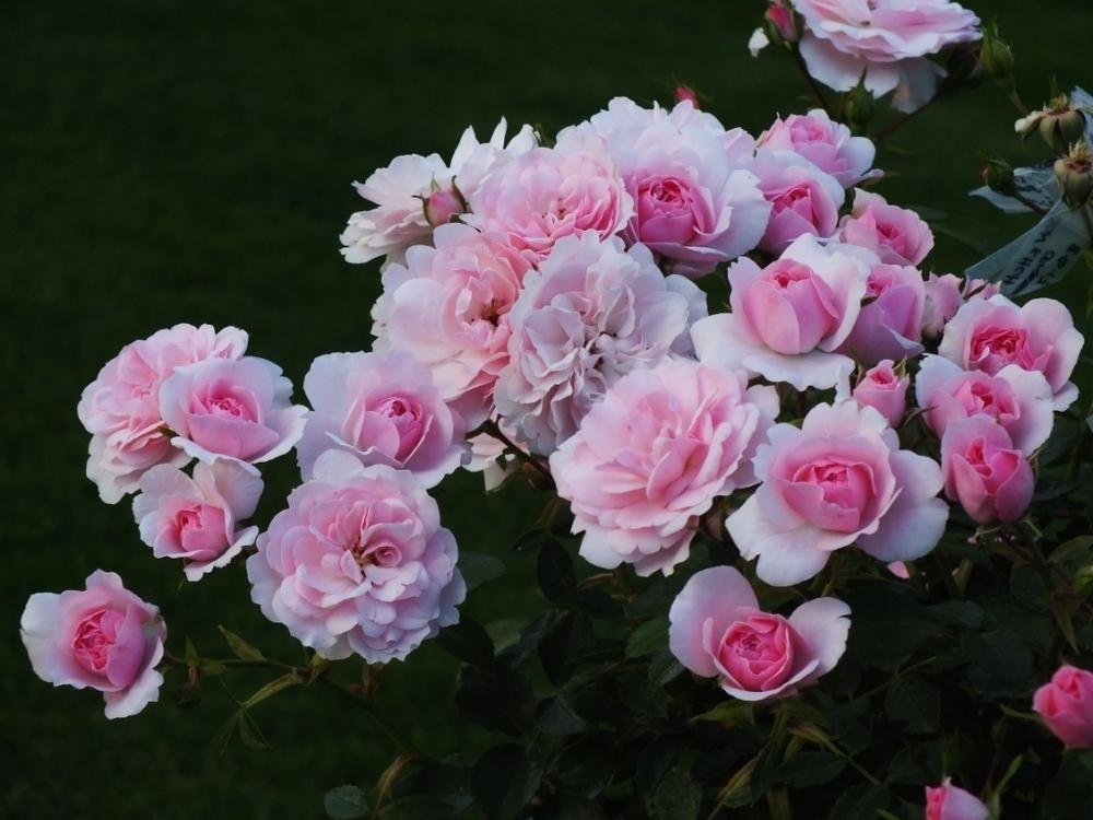 Photo of Rose (Rosa 'Bonica') uploaded by sunnyvalley