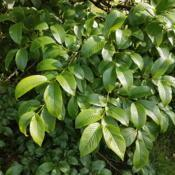 Location: Beachamwell, NorfolkDate: 2017-06-19Shrub 3.5 m tall, 7-8 m spread, multistemmed at base, flowers tho