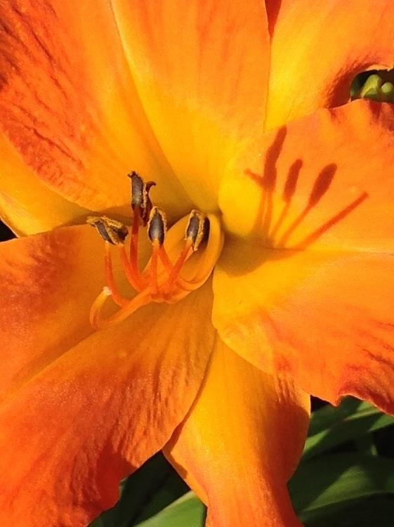 Photo of Daylily (Hemerocallis 'Primal Scream') uploaded by Lilydaydreamer