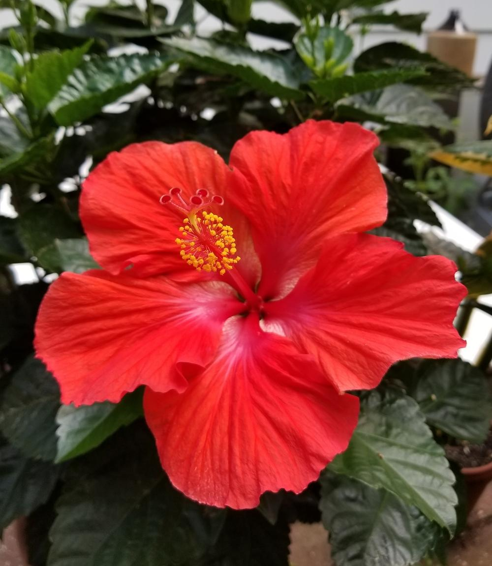 Tropical Hibiscus Hibiscus Rosa Sinensis President In The